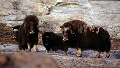 Самки овцебыков с телятами в Гренландии
