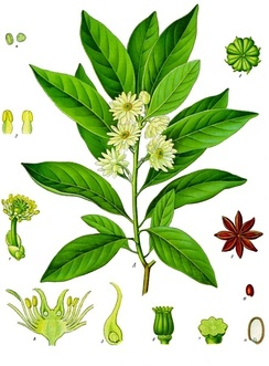 Japanese star anise (Illicium anisatum), from the Austrobaileyales