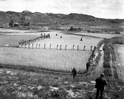 North Korean prisoners march single file across a rice paddy in Korea, 1950