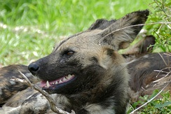 Closeup view of an African wild dog's head taken in Kruger National Park