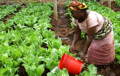 A woman manually irrigating crops during the day time.