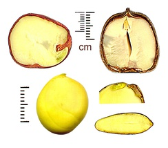 Sections of exalbuminous seeds