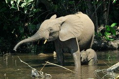 An African forest elephant mother bathing with her calf