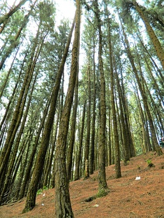 Pine forest in Vagamon, southern Western Ghats, Kerala (India)