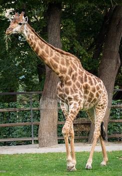 Южноафриканский жираф в Московском зоопарке