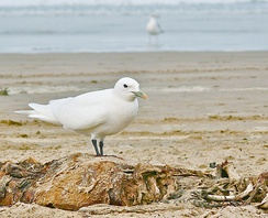 A rare vagrant Ivory Gull on a Central Coast beach