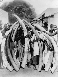 Men with elephant tusks at Dar es Salaam, Tanzania, circa 1900