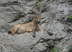 The Caucasian goat can be found at the mountains of Caucasus.