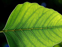 The leaf is the primary site of photosynthesis in most plants.