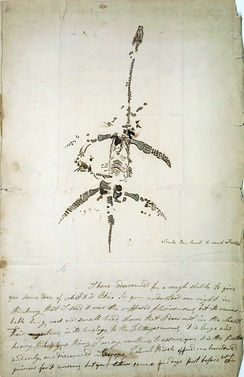 Complete Plesiosaurus skeleton recovered by the Annings in 1823.