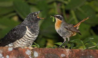 A red-chested cuckoo chick being feed by a significantly smaller Cape robin-chat adult