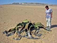 Вельвичия в Намибии: размер растения по сравнению с человеком.