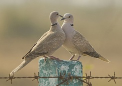 Courtship of Eurasian collared dove at Kutch
