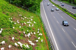 Goats managing the landscape alongside German autobahn A59.