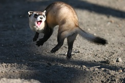 Black-footed ferret performing a weasel war dance