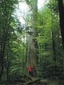 Царь-дуб— самый старый дуб Беловежской пущи
