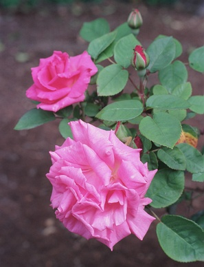 Rosa 'Zephirine Drouhin'— бурбонская роза, климбер, сорт создан во Франции в 1868 году