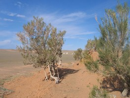 Кусты саксаула в пустыне Гоби— типичный корм верблюда