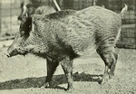 Annual report - New York Zoological Society (1920) (Sus scrofa algira).jpg