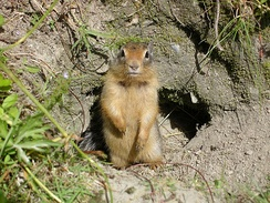 Columbian ground squirrel at burrow entrance