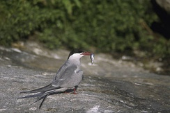 A common tern on Eastern Egg Rock