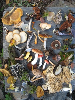 A sampling of fungi collected during summer 2008 in Northern Saskatchewan mixed woods, near LaRonge is an example regarding the species diversity of fungi. In this photo, there are also leaf lichens and mosses.
