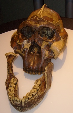 "Replica of the skull sometimes known as ""Nutcracker Man"", found by Mary Leakey."