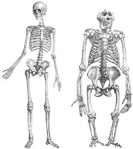Скелет человека (1) и гориллы (2)