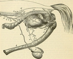 Genitourinary system of a stallion
