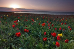 Tulipa suaveolens is one of the most typical spring flowers of the Pontic-Caspian steppe.