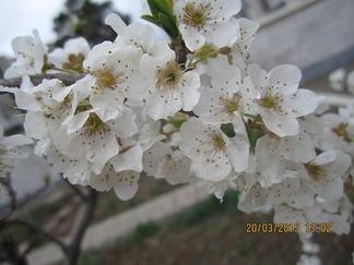 Цветки алычи