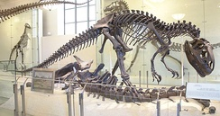 An almost complete Allosaurus (AMNH #5753) discovered by Cope's fossil hunters at Como Bluff in 1879. The find was not unpacked until after Cope's death.[74]