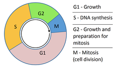 The four phases of the cell cycle. G1 – the initial growth phase. S – the phase in which DNA is synthesised. G2 – the second growth phase in preparation for cell division. M – mitosis; where the cell divides to produce two daughter cells that continue the cell cycle.