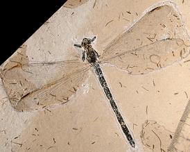Отпечаток Cratostenophlebia schwickerti