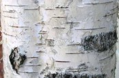 The dark horizontal lines on Silver birch bark are lenticels
