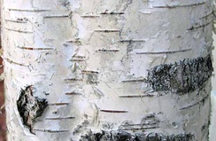 The dark horizontal lines on silver birch bark are the lenticels.[1]