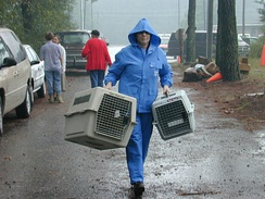 In the aftermath of Hurricane Floyd, animal rescue efforts continue throughout eastern North Carolina as volunteers care for hundreds of lost and abandoned pets. Shirley Minshew of the International Fund for Animal Welfare carries empty pet carriers to the animal shelter in Tarboro, North Carolina.