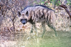 Striped hyena at the Gir Forest National Park