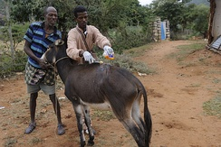 A veterinary technician in Ethiopia shows the owner of an ailing donkey how to sanitize the site of infection.