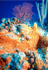 Non-bilaterians include sponges (centre) and corals (background).