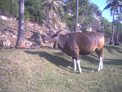 Domesticated banteng as Bali bull with white socks and white rump