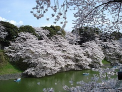 Cherry blossoms at the Tokyo Imperial Palace