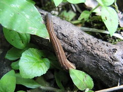 Haemadipsa zeylanica, a terrestrial leech found in the mountains of Japan