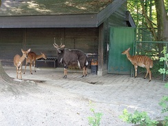 Nyala family in captivity