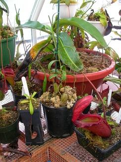 Непентес Раджа и другие виды, произрастающие в искусственных условиях.