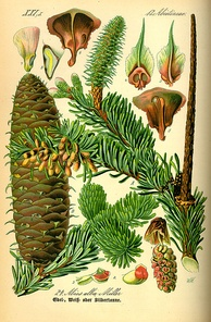 Buds, leaves and reproductive structures of white fir (Abies alba)