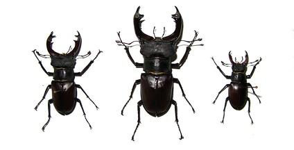Изменчивость жука-оленя. Слева направо— Самец f. media, самец f. major, самец f. minor. Заметно различие не только в величине мандибул самцов, но и в размере самих жуков