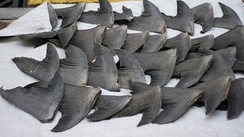 Fresh shark fins drying on a pavement in Hong Kong