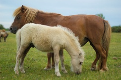 Shetland pony with foal in New Forest District, Hampshire