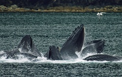 Photo of several whales each with only its head visible above the surface